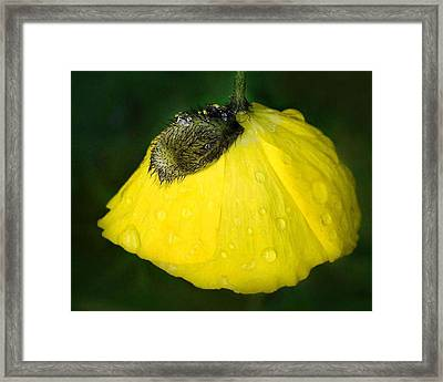 Framed Print featuring the photograph Yellow Poppy by Marilynne Bull