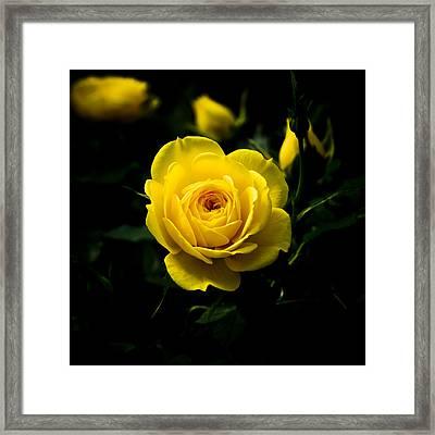Yellow Rose Framed Print by John Ater