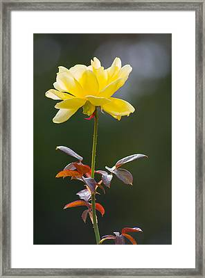 Framed Print featuring the photograph Yellow Rose by Willard Killough III