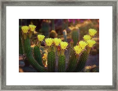 Yellow Torch Cactus Bouquet  Framed Print by Saija Lehtonen