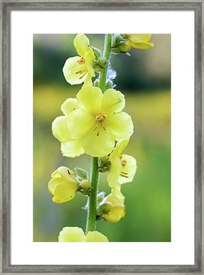 Yellow Verbascum Blattaria Flower Framed Print
