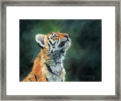 Young Amur Tiger Framed Print by David Stribbling