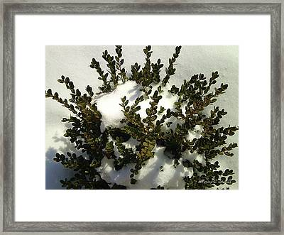 Young Boxwood In Winter Framed Print