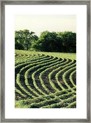 Young Soybean Plants Framed Print by Inga Spence