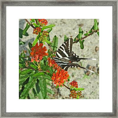 Framed Print featuring the photograph Zebra Swallowtail by Peg Urban