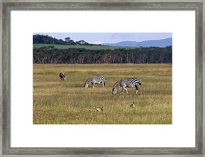 Zebras - Zebres Framed Print