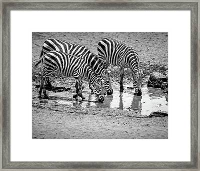 Framed Print featuring the photograph Zebras At The Watering Hole by Marion McCristall