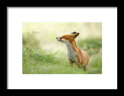 Fox Framed Prints