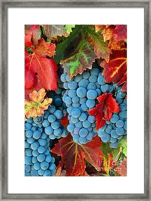 Zinfandel Grapes Framed Print by Inga Spence