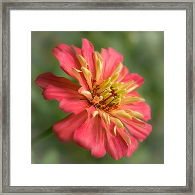 Zinnia Framed Print by Jim Hughes