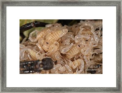 Asian Scorpion Carrying Young Framed Print
