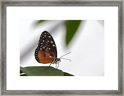 Butterfly Framed Print by Theo Tan