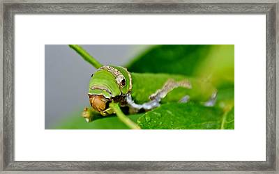 King Page Swallowtail Caterpillar Framed Print by Werner Lehmann