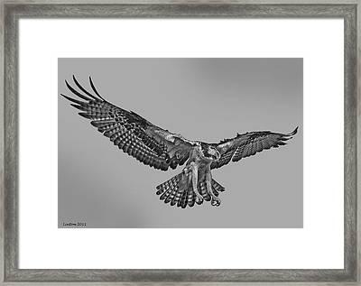 Osprey Flight Framed Print