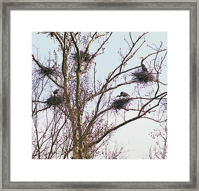 100408-2  Nesting Great Blue Herons Framed Print by Mike Davis