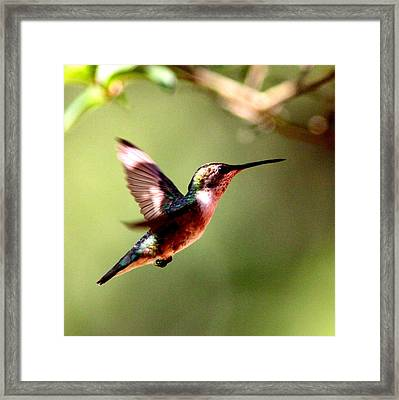 103456 - Ruby-throated Hummingbird Framed Print