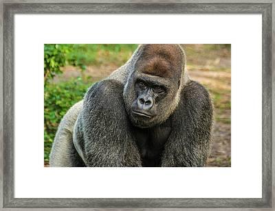 10898 Gorilla Framed Print by Pamela Williams