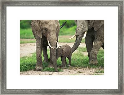 African Elephant Loxodonta Africana Framed Print