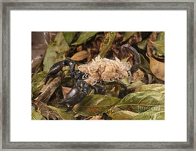 Asian Scorpion Carrying Young Framed Print by Francesco Tomasinelli