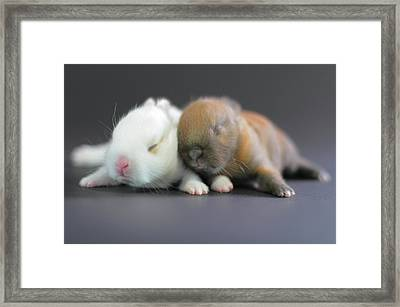 11 Day Old Bunnies Framed Print by Copyright Crezalyn Nerona Uratsuji