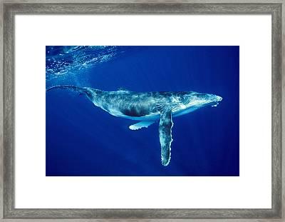 Humpback Whale Framed Print