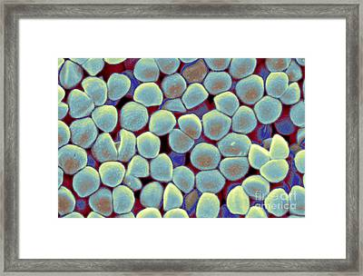 Lactococcus Lactis Framed Print