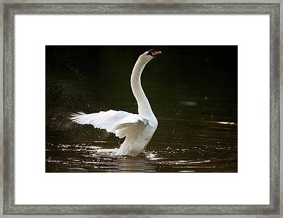 Mute Swan Framed Print by Don Hooper