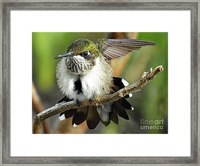 Ruby-throated Hummingbird Framed Print by Cindy Treger