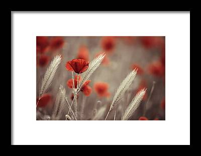 Red Poppy Framed Prints
