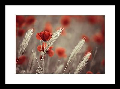 Poppies Framed Prints