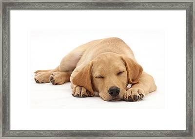 Yellow Labrador Retriever Puppy Framed Print by Mark Taylor