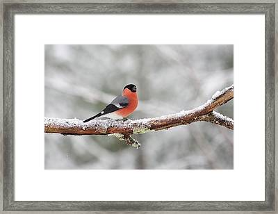 Eurasian Bullfinch Framed Print