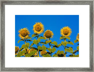 Field Of Sunflowers Framed Print