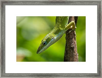 Framed Print featuring the photograph Green Lizard by Willard Killough III