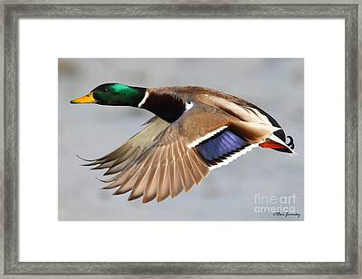 Male Mallard Duck In Flight Framed Print
