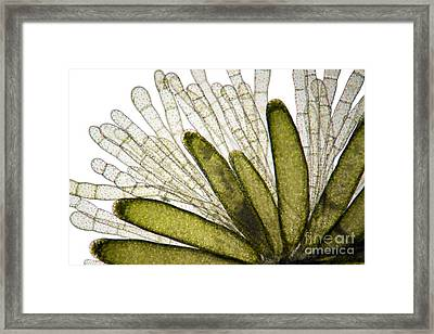 Mnium Moss, Light Micrograph Framed Print by Dr. Keith Wheeler