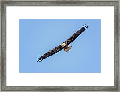 Framed Print featuring the photograph Bald Eagle by Peter Lakomy