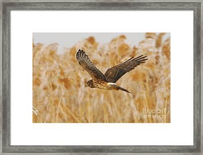 Harrier Hawk Framed Print by Dennis Hammer
