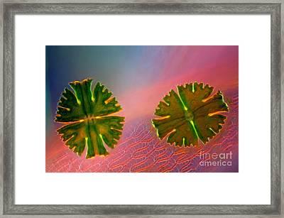 Micrasterias Apiculata, Lm Framed Print by Marek Mis
