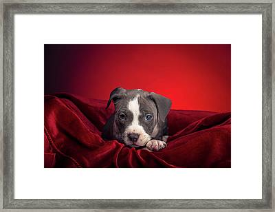 Framed Print featuring the photograph American Pitbull Puppy by Peter Lakomy