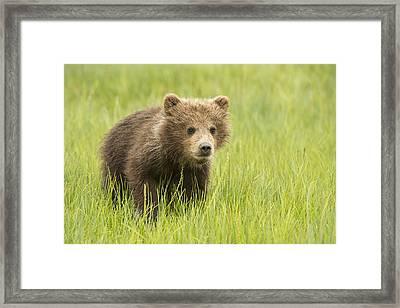Grizzly Bear  Ursus Arctos Horribilis Framed Print