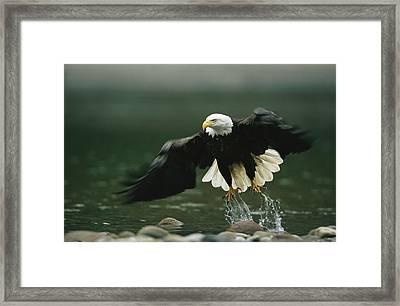 An American Bald Eagle In Flight Framed Print