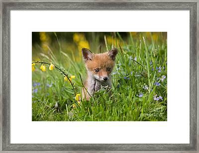 Red Fox Vulpes Vulpes Framed Print by Gerard Lacz