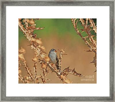 White-crowned Sparrow Framed Print