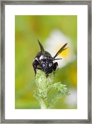 Bee Framed Print by Andre Goncalves