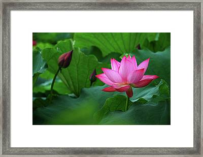 Blossoming Lotus Flower Closeup Framed Print