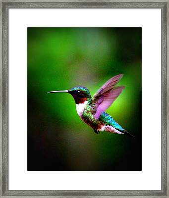 1846-007 - Ruby-throated Hummingbird Framed Print