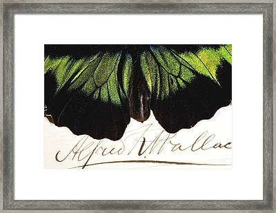 1855 Wallace And Rajah Brooke's Birdwing Framed Print by Paul D Stewart