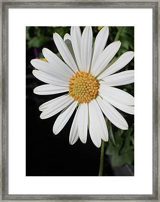 Daisy Framed Print by Michele Caporaso