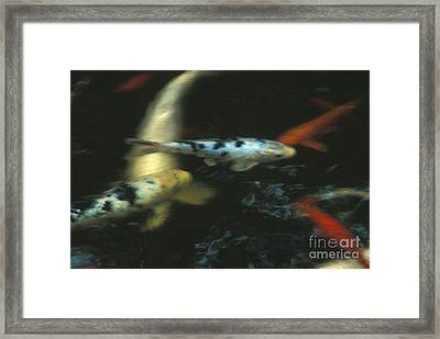 The Koi Pond Framed Print by Marc Bittan